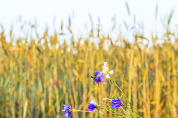 Wildflowers against the background of a wheat field