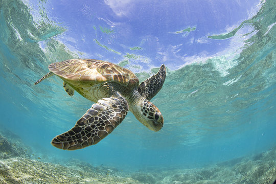 Turtle swimming over a coral reef, Great Barrier Reef, Queensland, Australia