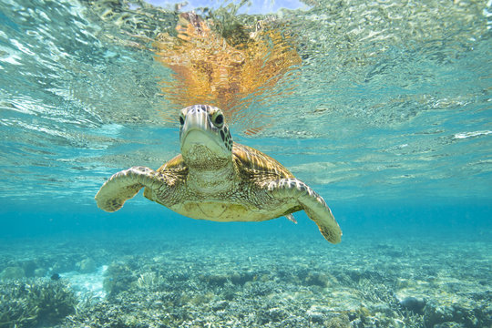 Turtle swimming in ocean, Lady Elliot Island, Great Barrier Reef, Queensland, Australia