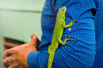 Wall Mural - Green lizard on men's hand. Lizard comfortably feels with a man_