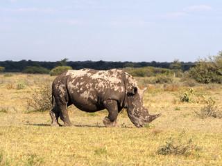 Southern White rhinoceros, Ceratotherium simum simum, on Botswana pasture
