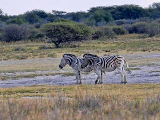 Two Plains of Zebra, Equus quagga, Botswana