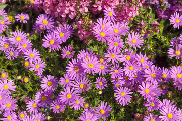 Many pink asters