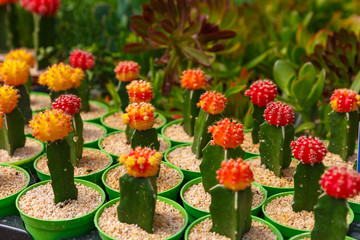 Group of blooming decorative cactuses
