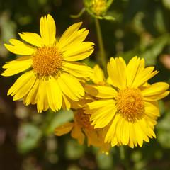 Closeup of pair yellow chrysanthemum coronarium