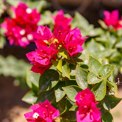Flowering branch of red bougainvilleas