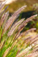 Young eared grass glowing on the sun