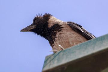 Portfait of hooded crow on a lantern
