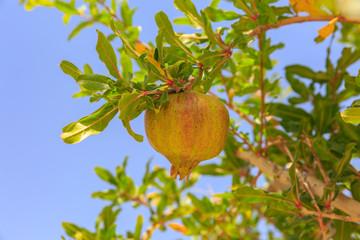 Small unripe pomegranate at sky background