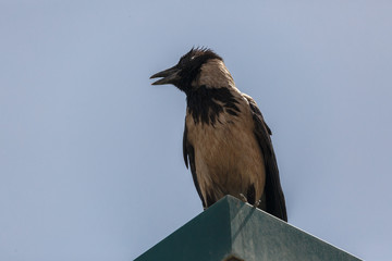 Close up of hooded crow on a lantern
