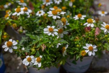 White decorative chrysanthemum