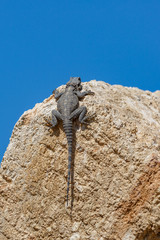 Giant mature stellio lizard on stone