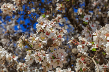 White almond flowers with old nuts