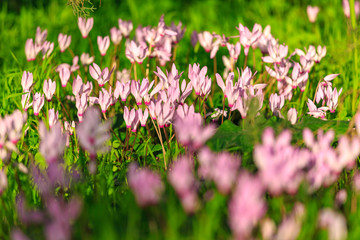 A large glade with a wild cyclamen