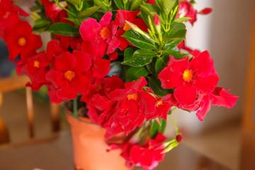 Red mandevilla in pot
