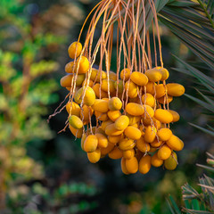 Yellow unripe dates on the palm
