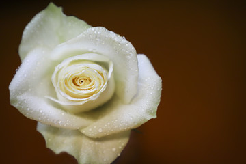 White rose with water drops.