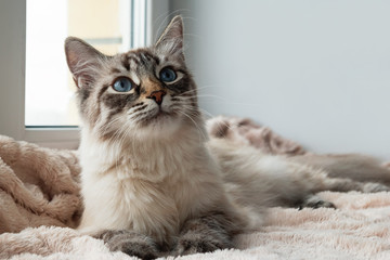 Adorable furry cat of seal lynx point color with blue eyes is lying on a pink blanket near to the window, front view.