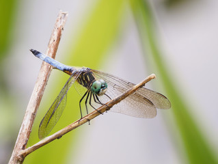 Focus Stacked Closeup Image of a Blue Dasher Dragonfly