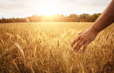 Poster Culture Harvest concept, close up of male hand in the wheat field with copy space