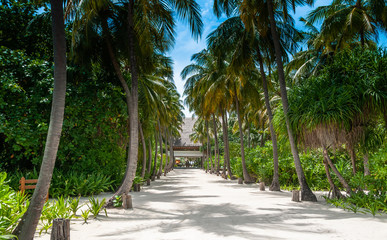 Picture of beautiful tropical alley of coconut trees