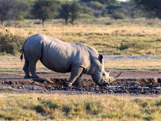 Southern White rhinoceros, Ceratotherium simum simum, female with baby going to waterhole in Botswana