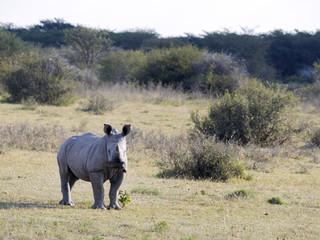 Young Southern White rhinoceros, Ceratotherium simum simum, on Botswana pasture