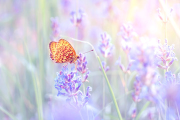 fairy tale butterfly on the lavender flower closeup in bright, pale colors and blurry background