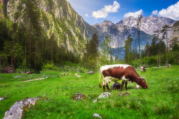 Meadow with cows in Berchtesgaden National Park