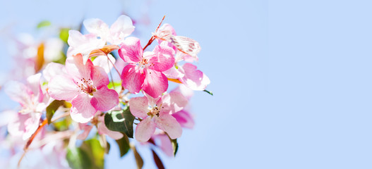 Hawaiian style floral background. Blossoming pink petals flowers close-up. Fruit tree branch on blue sky background, sunny day light. Shallow depth of field, copy space