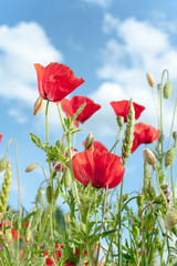 Field with red translucent poppy flowers in rays of sunlight