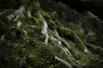 Close up of a twisted tree roots covered with green most and plants
