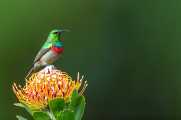 Printed roller blinds Bird Southern double-collared sunbird or lesser double-collared sunbird (Cinnyris chalybeus) - Kleinrooibandsuikerbekkie