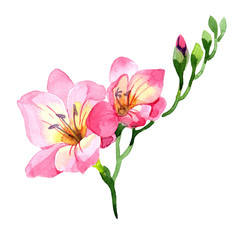 Pink freesia. Floral botanical flower. Wild spring leaf wildflower isolated. Aquarelle wildflower for background, texture, wrapper pattern, frame or border.