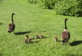 goose family on grass bird nature wildlife