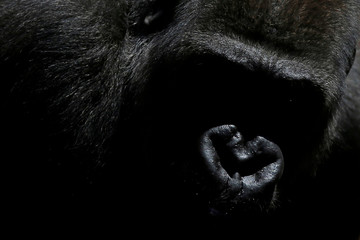 Echo, a 9-year-old blackback coast gorilla, is pictured in his enclosure at Bioparc Fuengirola in Fuengirola