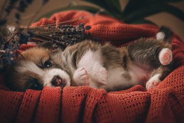 Welsh corgi pembroke sweet puppies