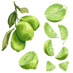 Lime parts set with lime fruit on the branch, leaves, half of a fruit and its slices in realistic graphic vector illustration