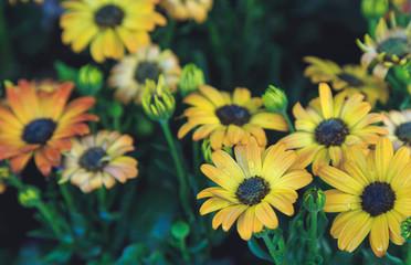 gerbera flowers close-up