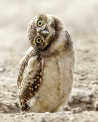 Quizzical Burrowing Owlet