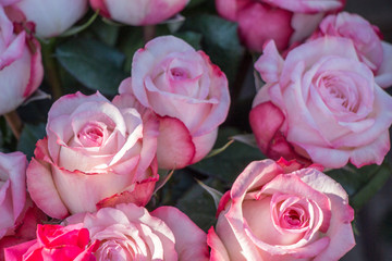 Beautiful fresh roses as a spring background..