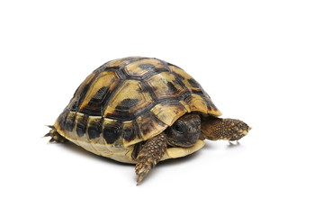 Little baby turtle, Hermann's Tortoise isolated on white background