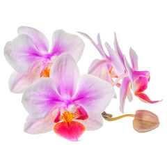 blossoming twig of beautiful purple with white orchid, phalaenopsis is isolated on white background, close up