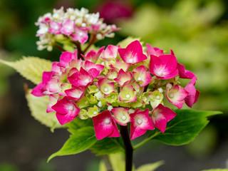Hydrangea flowers - Hydrangea arborescens flowers in the summer garden