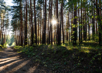 coniferous forest at sunset