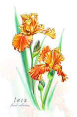 Botanical illustration. Postcard card with blossoming orange irises flowers. Imitation of watercolor. Drawing with alcohol markers.