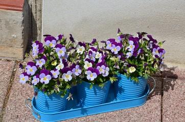 Viola cornuta - Blumendekoration - Hornveilchen blühen dekorativ in Pflanztöpfen - Willkommensgruß an der Haustür