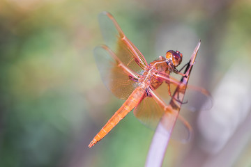 Flame (firecracker) Skimmer (Libellula saturata dragonfly) resting on a leaf. Santa Clara County, California, USA.