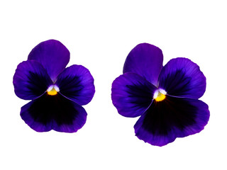 Foto op Aluminium Pansies Pair of violets flowers isolated, pansy