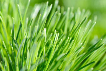 Pine tree needles close-up